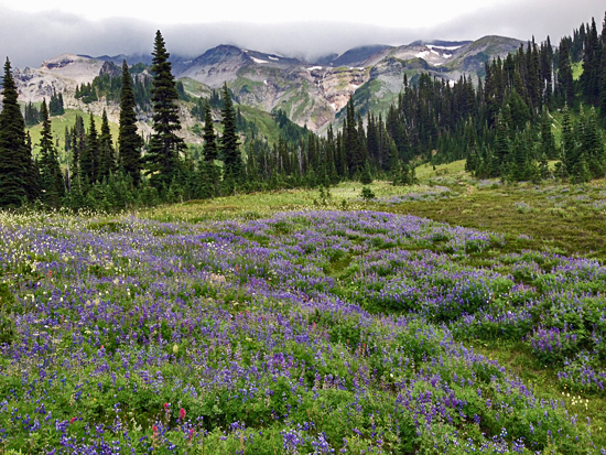 Broadleaf Lupine and Magenta Paintbrush fill the subalpine meadows of Van Trump Park